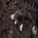 Garden Mole Removal in Abinger Common 7