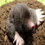 Garden Mole Removal in Argyll and Bute 6
