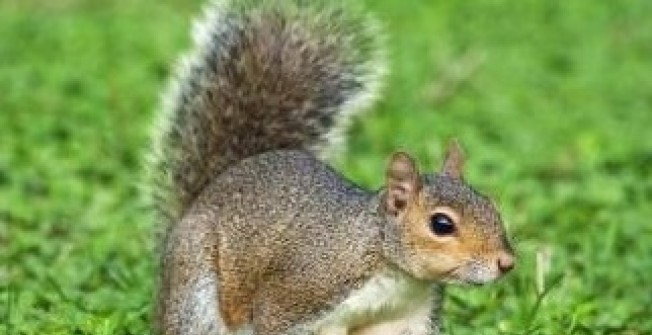 Squirrel Pests in Achfary